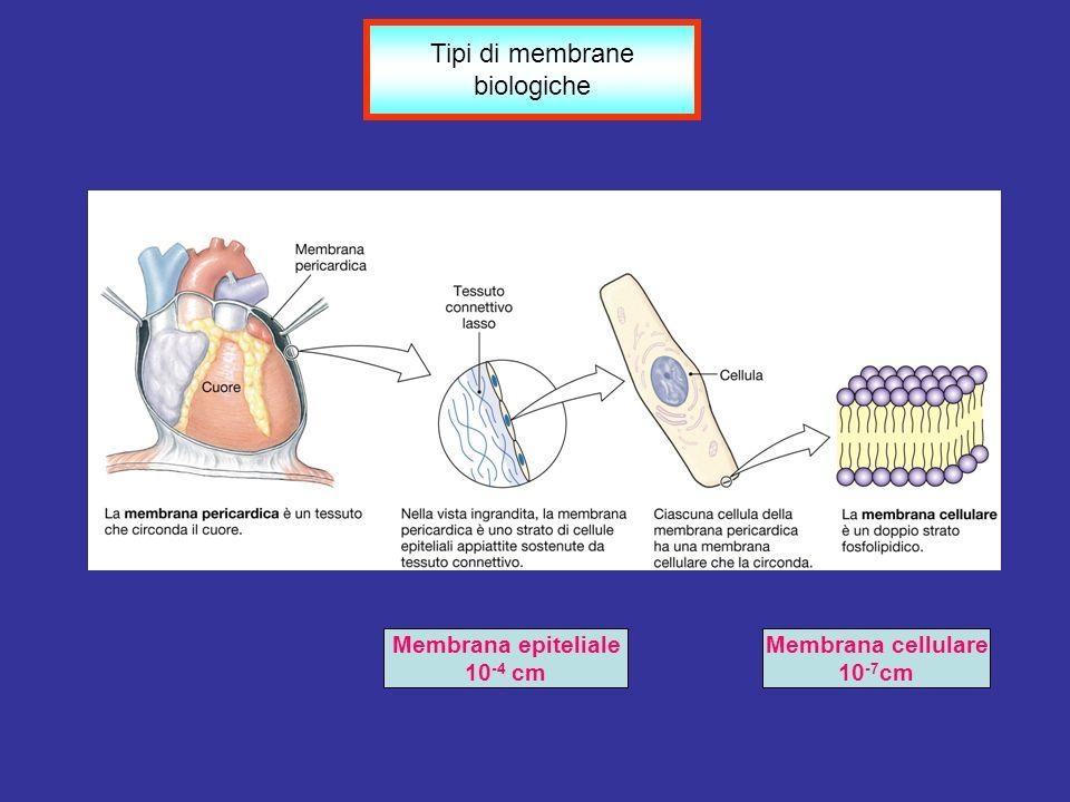 Membrana epiteliale 10 -4 cm Membrana cellulare 10 -7 cm Tipi di membrane biologiche