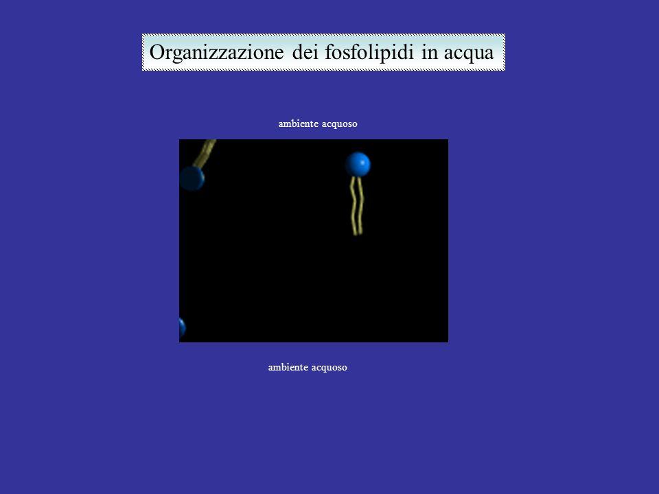 ambiente acquoso Organizzazione dei fosfolipidi in acqua