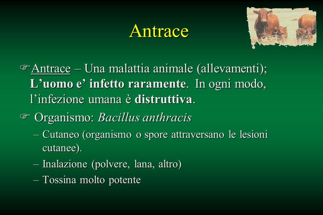 Antrace FAntrace – Una malattia animale (allevamenti); Luomo e infetto raramente. In ogni modo, linfezione umana è distruttiva. F Organismo: Bacillus