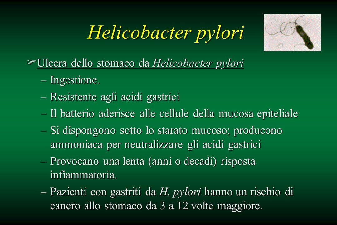 Helicobacter pylori FUlcera dello stomaco da Helicobacter pylori –Ingestione. –Resistente agli acidi gastrici –Il batterio aderisce alle cellule della