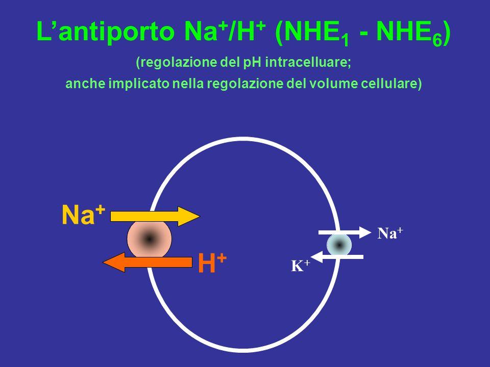 Lantiporto Na + /H + (NHE 1 - NHE 6 ) (regolazione del pH intracelluare; anche implicato nella regolazione del volume cellulare) Na + H+H+ K+K+
