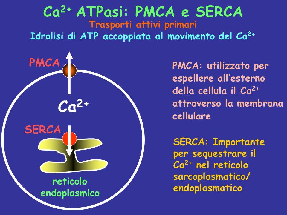 Ca 2+ SERCA PMCA reticolo endoplasmico PMCA: utilizzato per espellere allesterno della cellula il Ca 2+ attraverso la membrana cellulare Ca 2+ ATPasi: