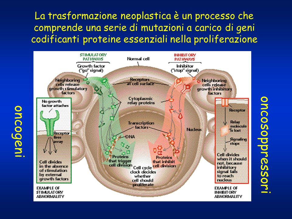 Cell cycle and cytotoxic opportunities CELL DIFFERENTIATION CELL LIFE CYCLE TIME CELL DIVISION G 2 PERIOD (CHROMOSOME REPLICATION) S-PHASE G 1 PERIOD Farmaci selettivamente antiproliferativi