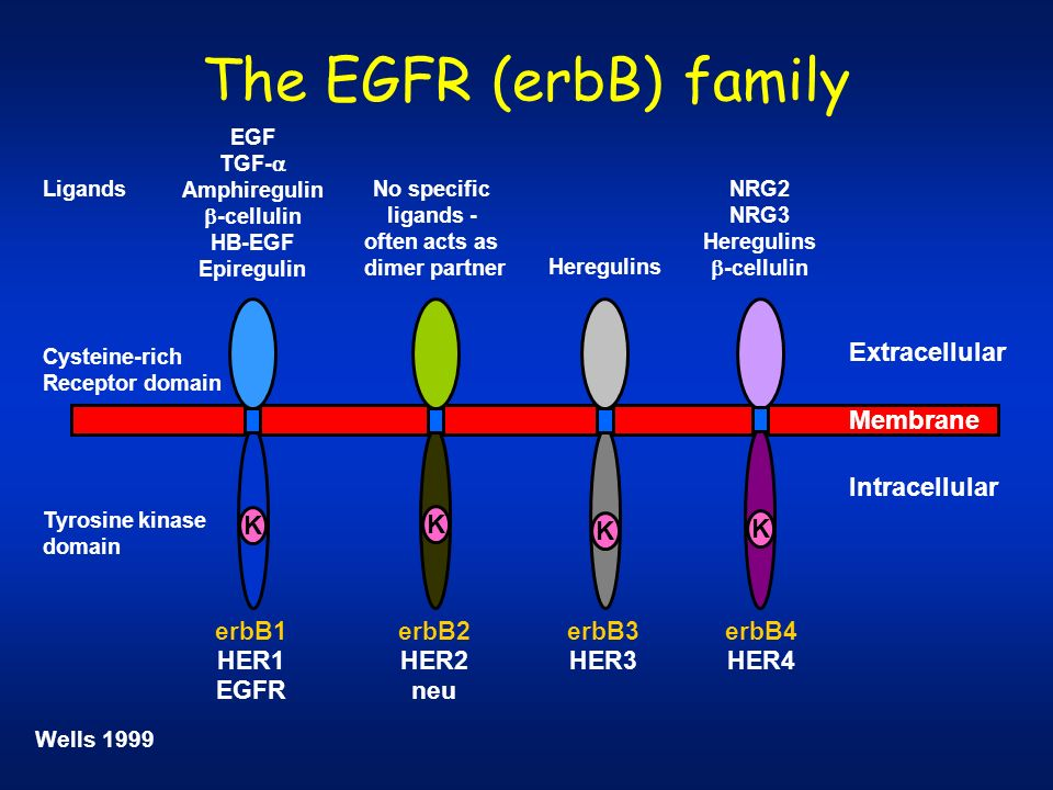 The EGFR (erbB) family Membrane Extracellular Intracellular Cysteine-rich Receptor domain K EGF TGF- Amphiregulin -cellulin HB-EGF Epiregulin Tyrosine