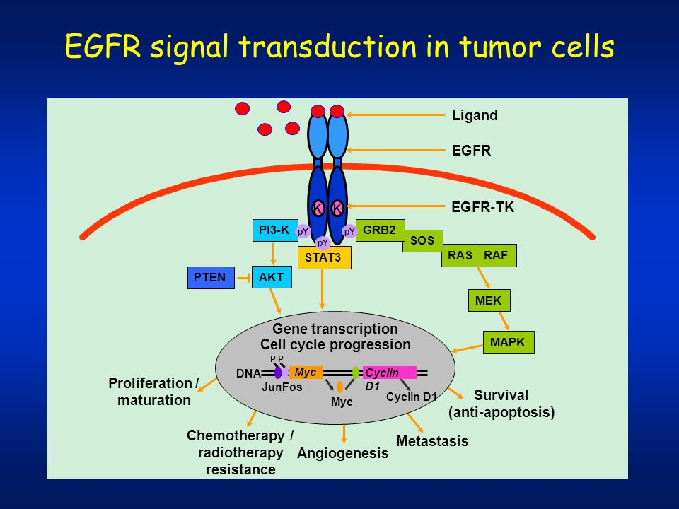 EGFR signal transduction in tumor cells Survival (anti-apoptosis) PI3-K EGFR Ligand PTEN AKT STAT3 MEK Gene transcription Cell cycle progression DNA M