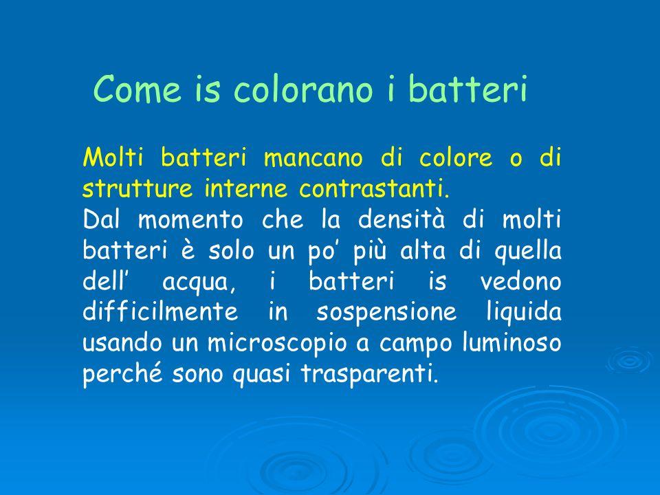 Come is colorano i batteri Molti batteri mancano di colore o di strutture interne contrastanti. Dal momento che la densità di molti batteri è solo un