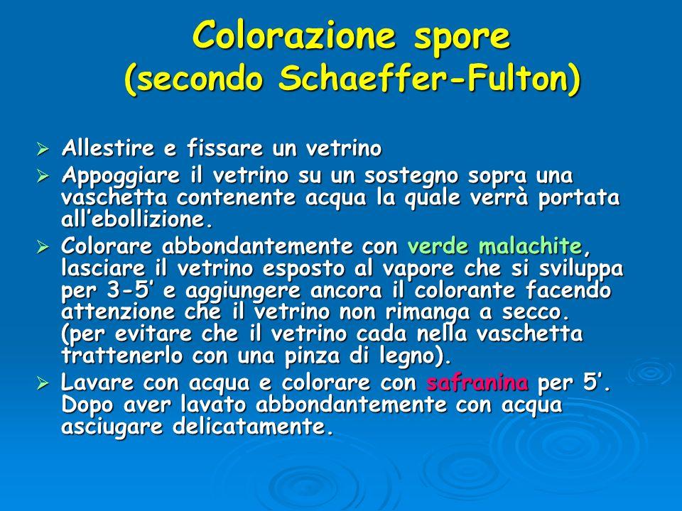 Colorazione spore (secondo Schaeffer-Fulton) Allestire e fissare un vetrino Allestire e fissare un vetrino Appoggiare il vetrino su un sostegno sopra