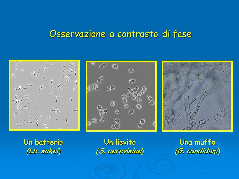 Osservazione a contrasto di fase Un batterio (Lb. sakei) Un lievito (S. cerevisiae) Una muffa (G. candidum)