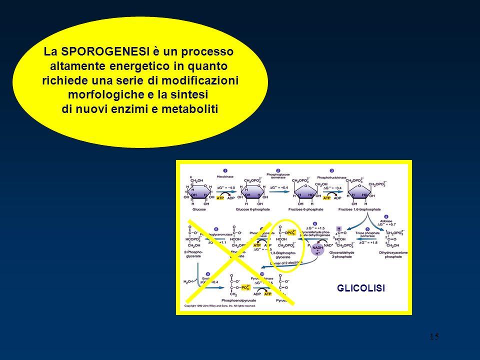 15 GLICOLISI La SPOROGENESI è un processo altamente energetico in quanto richiede una serie di modificazioni morfologiche e la sintesi di nuovi enzimi