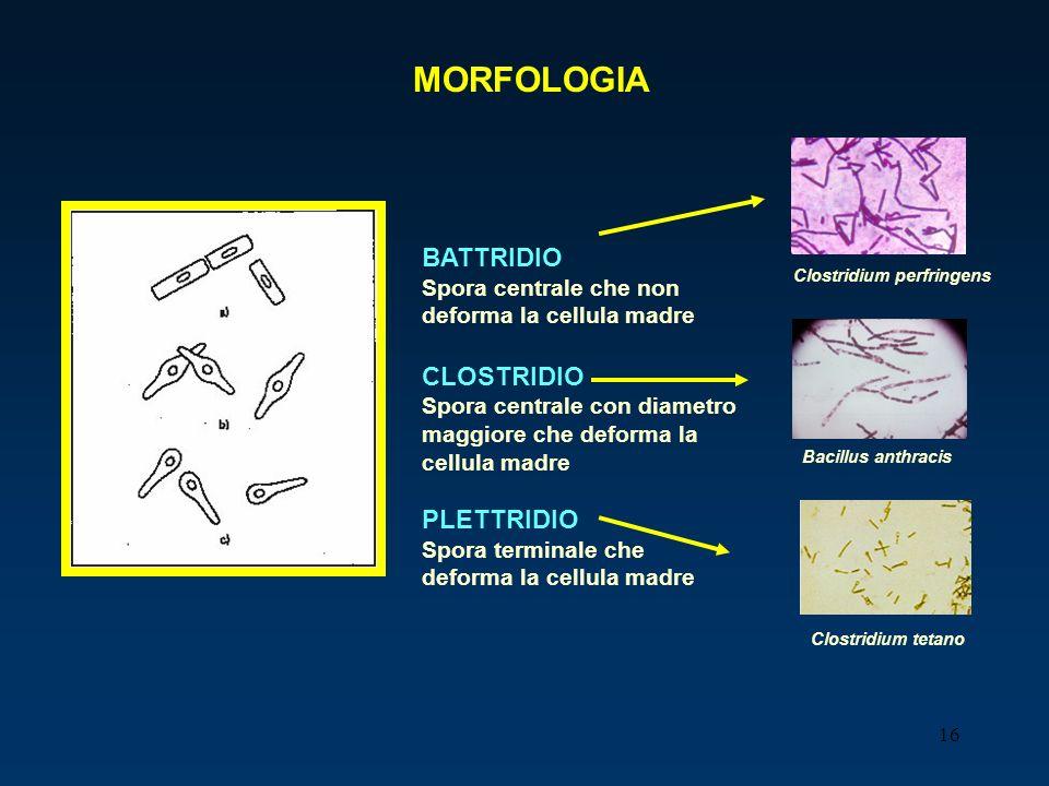 16 MORFOLOGIA BATTRIDIO Spora centrale che non deforma la cellula madre CLOSTRIDIO Spora centrale con diametro maggiore che deforma la cellula madre P