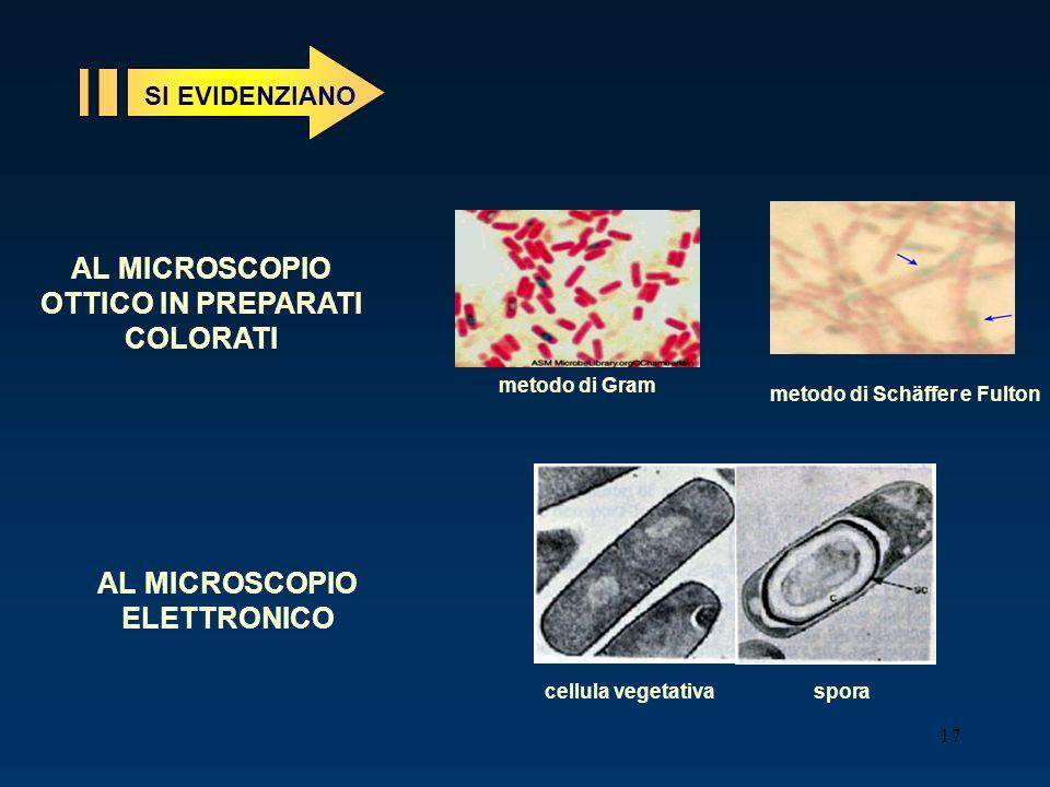 17 SI EVIDENZIANO metodo di Gram metodo di Schäffer e Fulton AL MICROSCOPIO OTTICO IN PREPARATI COLORATI AL MICROSCOPIO ELETTRONICO cellula vegetativa