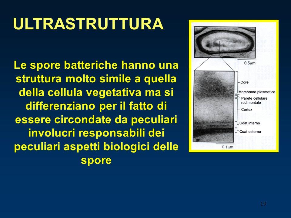 19 ULTRASTRUTTURA Le spore batteriche hanno una struttura molto simile a quella della cellula vegetativa ma si differenziano per il fatto di essere ci