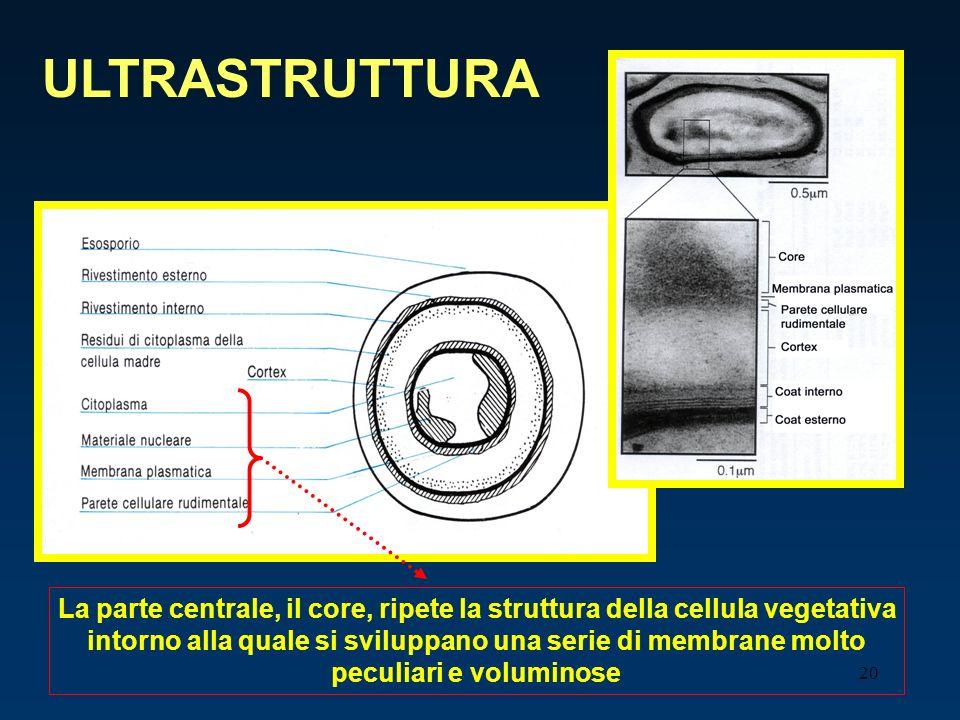 20 ULTRASTRUTTURA La parte centrale, il core, ripete la struttura della cellula vegetativa intorno alla quale si sviluppano una serie di membrane molt