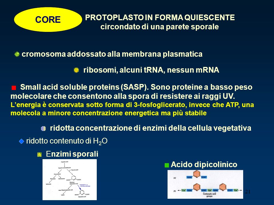 21 CORE PROTOPLASTO IN FORMA QUIESCENTE circondato di una parete sporale cromosoma addossato alla membrana plasmatica ribosomi, alcuni tRNA, nessun mR