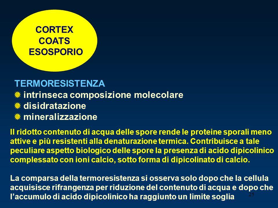 25 CORTEX COATS ESOSPORIO TERMORESISTENZA intrinseca composizione molecolare disidratazione mineralizzazione Il ridotto contenuto di acqua delle spore