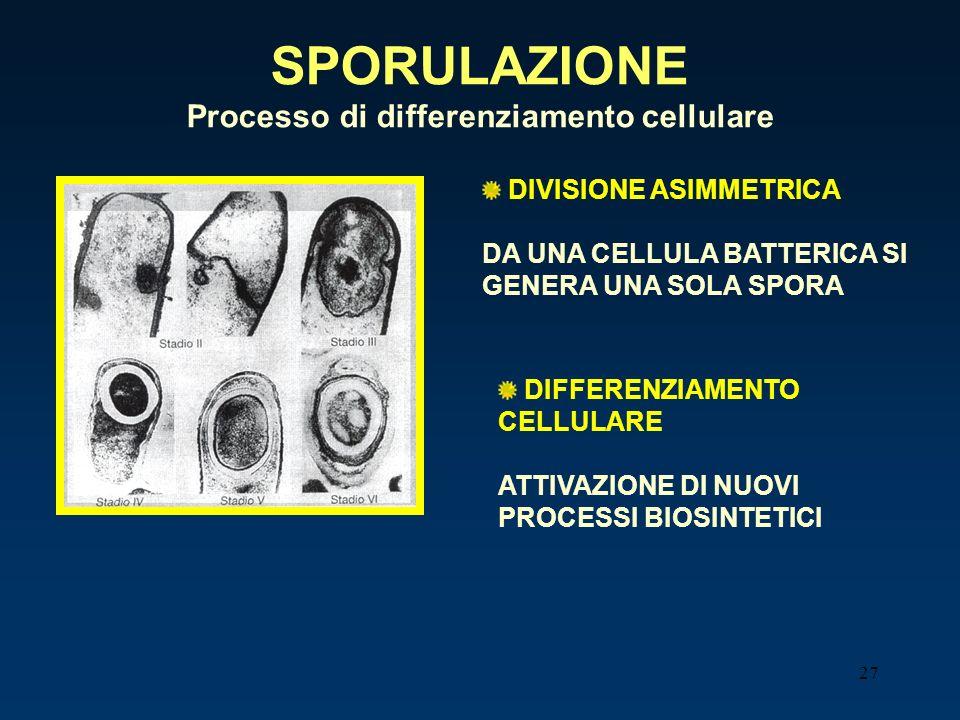 27 SPORULAZIONE Processo di differenziamento cellulare DIVISIONE ASIMMETRICA DA UNA CELLULA BATTERICA SI GENERA UNA SOLA SPORA DIFFERENZIAMENTO CELLUL