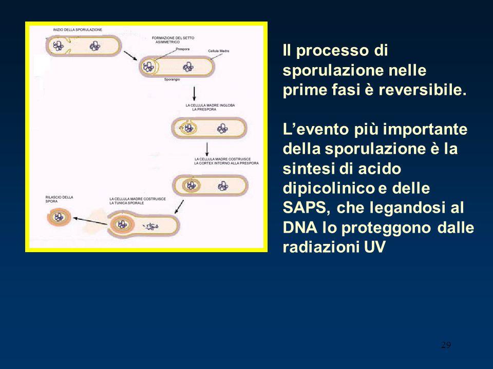 29 Il processo di sporulazione nelle prime fasi è reversibile. Levento più importante della sporulazione è la sintesi di acido dipicolinico e delle SA