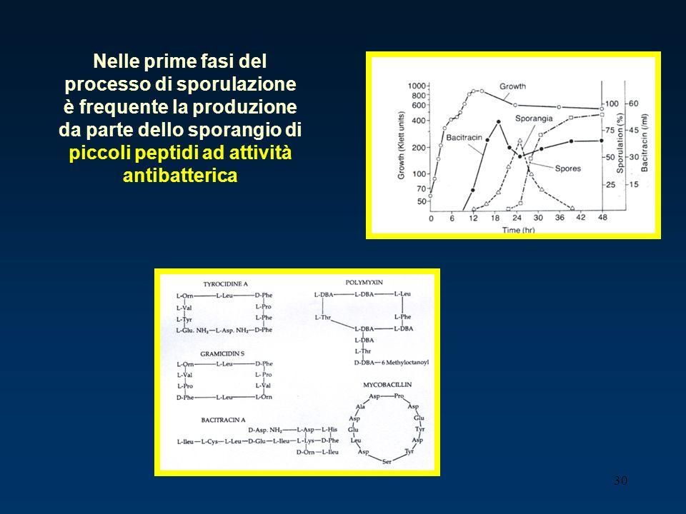30 Nelle prime fasi del processo di sporulazione è frequente la produzione da parte dello sporangio di piccoli peptidi ad attività antibatterica