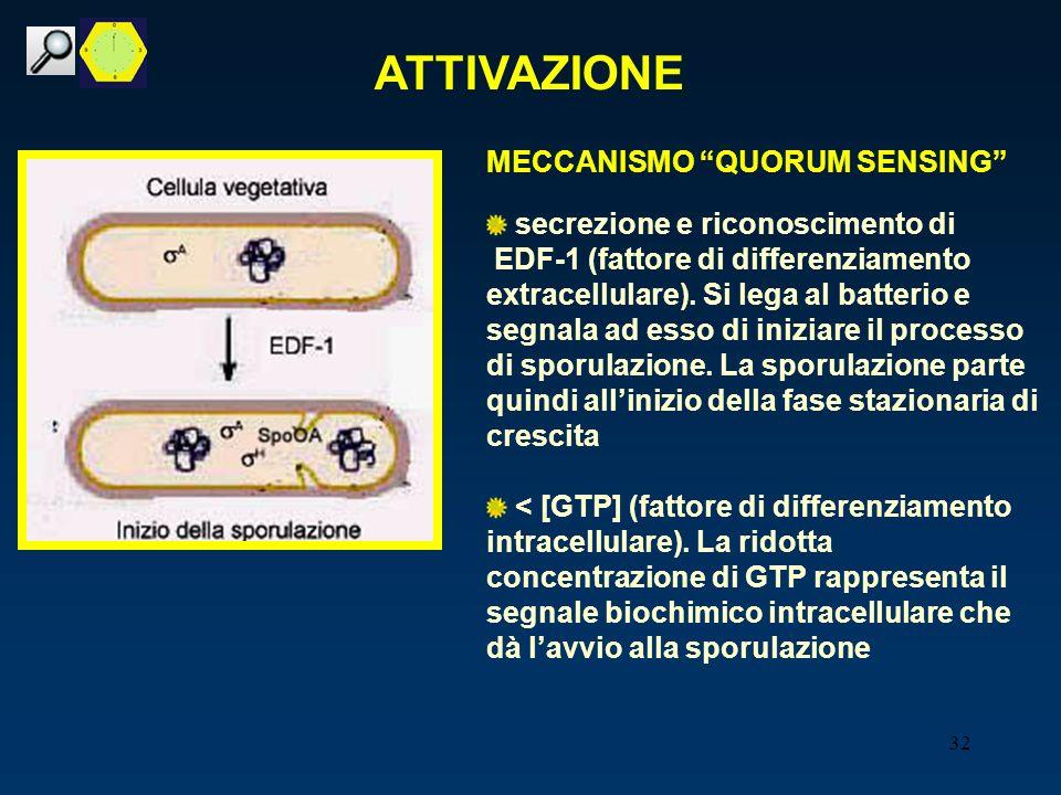 32 MECCANISMO QUORUM SENSING secrezione e riconoscimento di EDF-1 (fattore di differenziamento extracellulare). Si lega al batterio e segnala ad esso