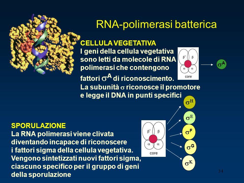 34 CELLULA VEGETATIVA I geni della cellula vegetativa sono letti da molecole di RNA polimerasi che contengono fattori A di riconoscimento. La subunità