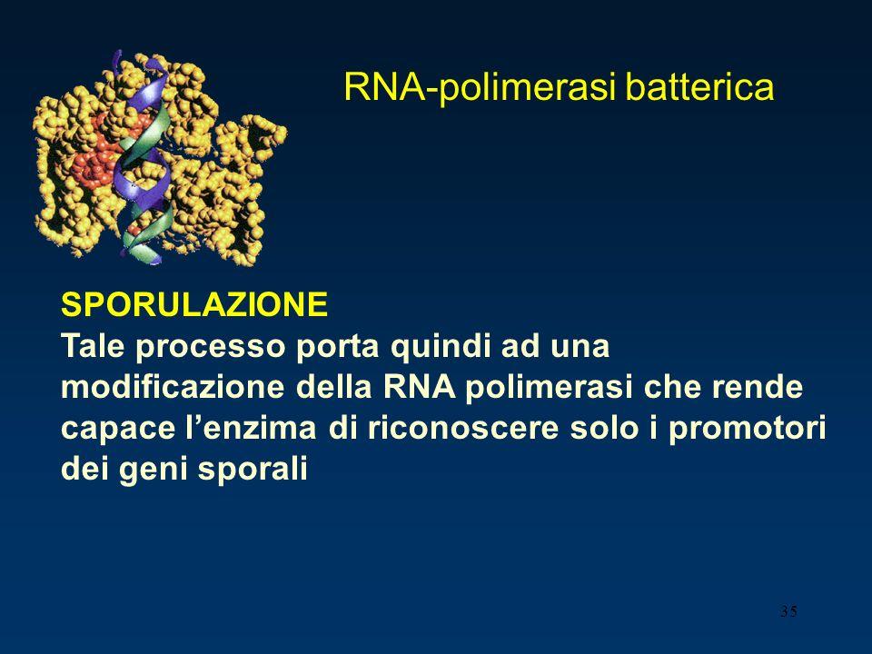 35 SPORULAZIONE Tale processo porta quindi ad una modificazione della RNA polimerasi che rende capace lenzima di riconoscere solo i promotori dei geni