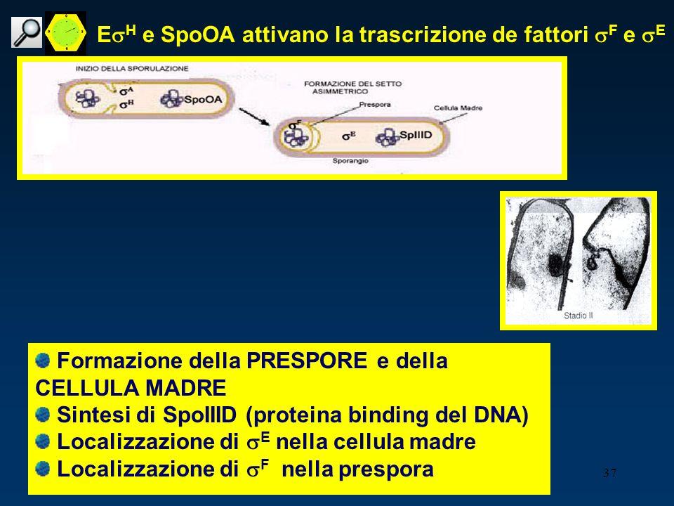 37 E H e SpoOA attivano la trascrizione de fattori F e E Formazione della PRESPORE e della CELLULA MADRE Sintesi di SpoIIID (proteina binding del DNA)