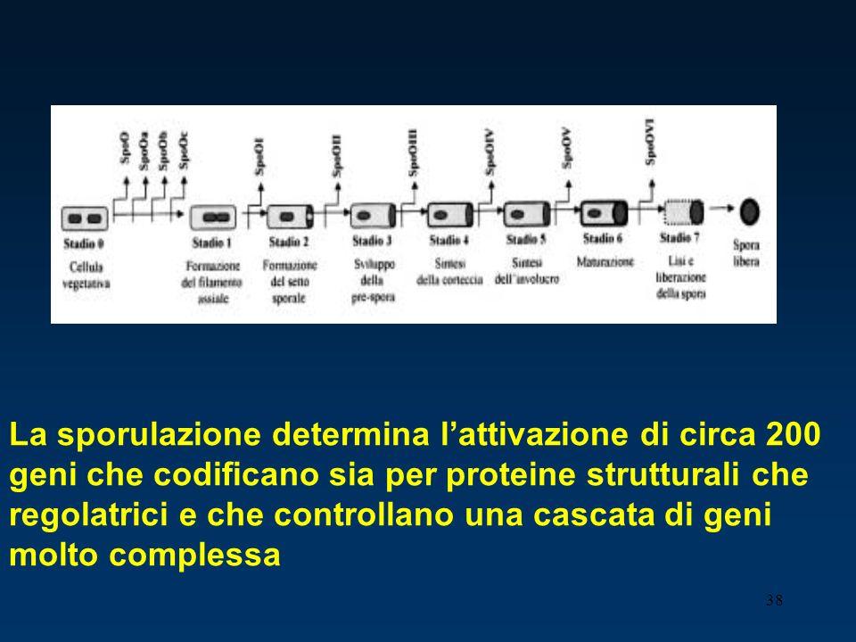 38 La sporulazione determina lattivazione di circa 200 geni che codificano sia per proteine strutturali che regolatrici e che controllano una cascata