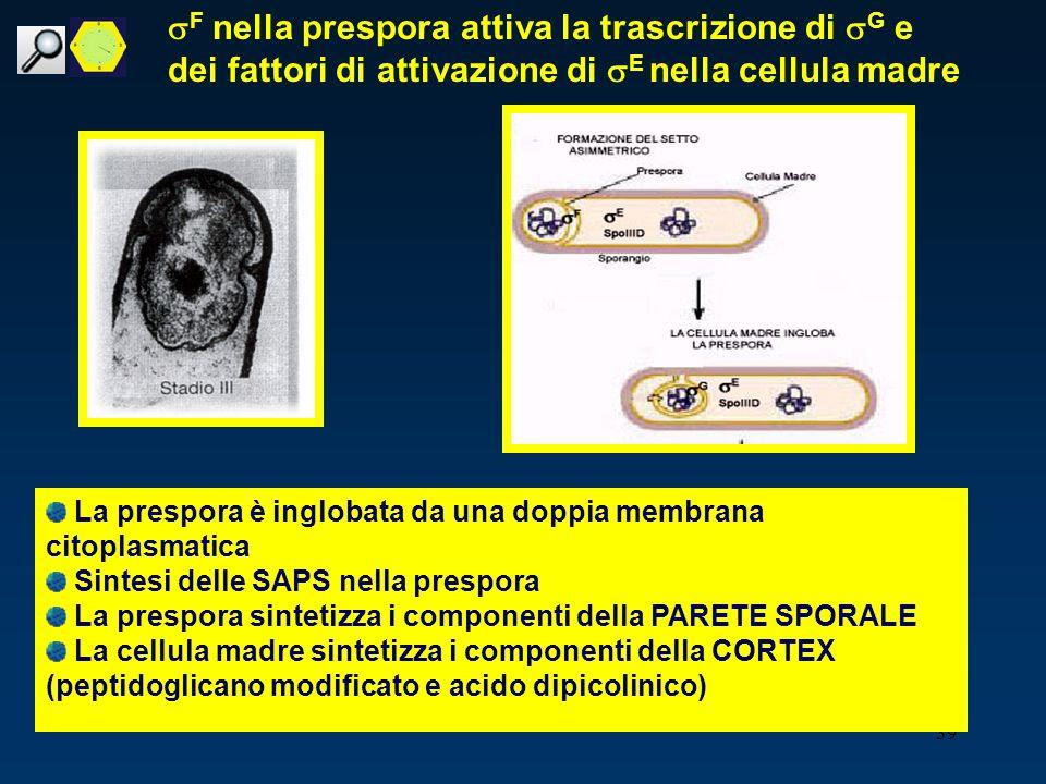 39 F nella prespora attiva la trascrizione di G e dei fattori di attivazione di E nella cellula madre La prespora è inglobata da una doppia membrana c