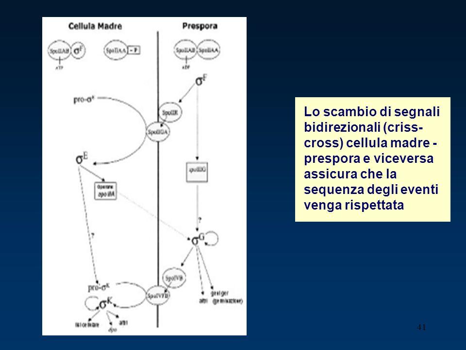 41 Lo scambio di segnali bidirezionali (criss- cross) cellula madre - prespora e viceversa assicura che la sequenza degli eventi venga rispettata