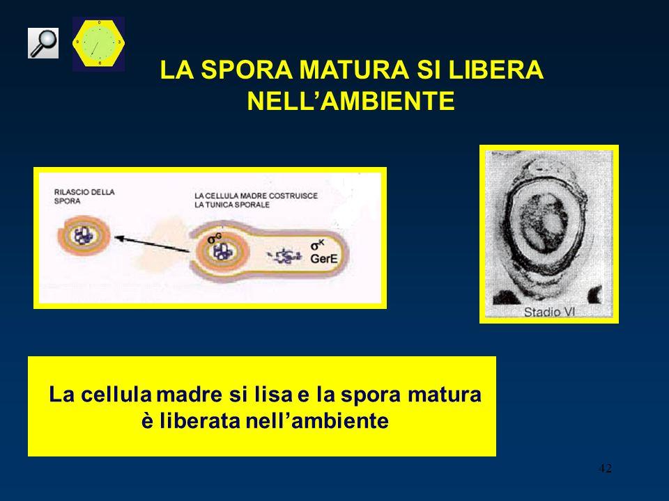 42 LA SPORA MATURA SI LIBERA NELLAMBIENTE La cellula madre si lisa e la spora matura è liberata nellambiente
