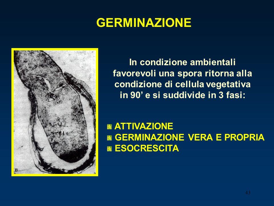 43 GERMINAZIONE In condizione ambientali favorevoli una spora ritorna alla condizione di cellula vegetativa in 90 e si suddivide in 3 fasi: ATTIVAZION