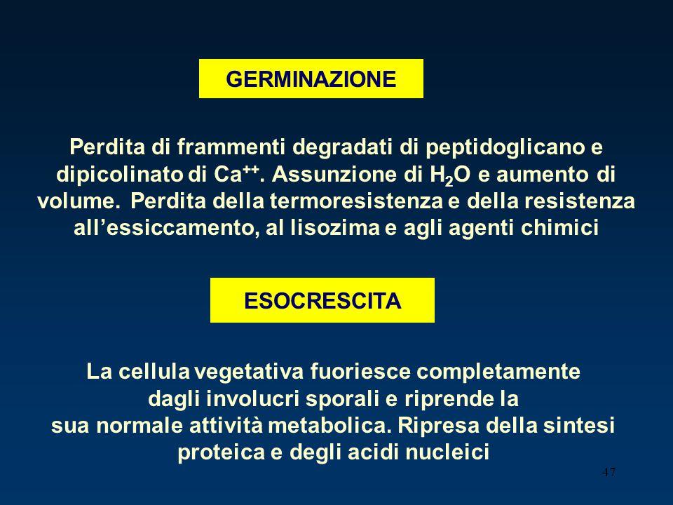 47 GERMINAZIONE Perdita di frammenti degradati di peptidoglicano e dipicolinato di Ca ++. Assunzione di H 2 O e aumento di volume. Perdita della termo