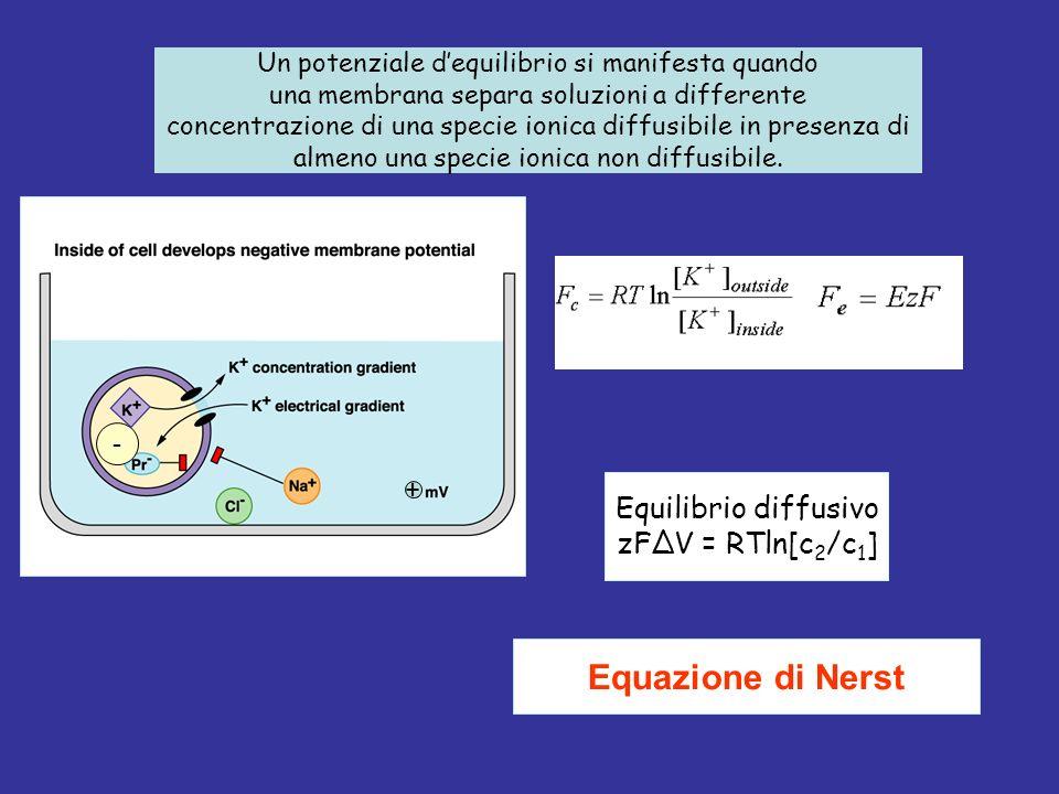 Equilibrio diffusivo zFΔV = RTln[c 2 /c 1 ] Equazione di Nerst - + Un potenziale dequilibrio si manifesta quando una membrana separa soluzioni a differente concentrazione di una specie ionica diffusibile in presenza di almeno una specie ionica non diffusibile.