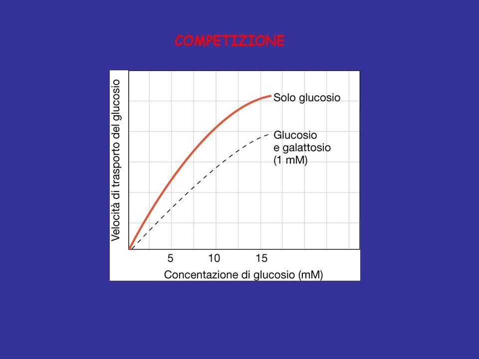 Quando le molecole in competizione non vengono trasportate, ma ostacolano soltanto il trasporto di altri substrati, si parla allora di inibitori competitivi Nel sistema di trasporto del glucosio, il maltosio è un inibitore: compete con il glucosio per il sito di legame, ma una volta legato è troppo grande per essere trasportato attraverso la membrana INIBIZIONE