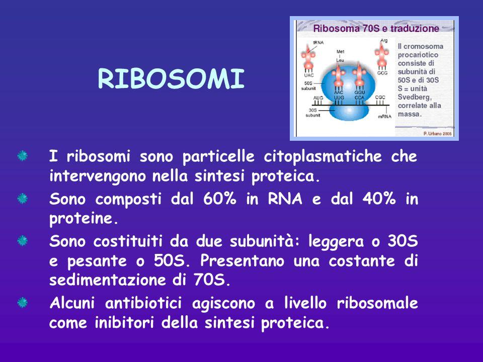 RIBOSOMI I ribosomi sono particelle citoplasmatiche che intervengono nella sintesi proteica.