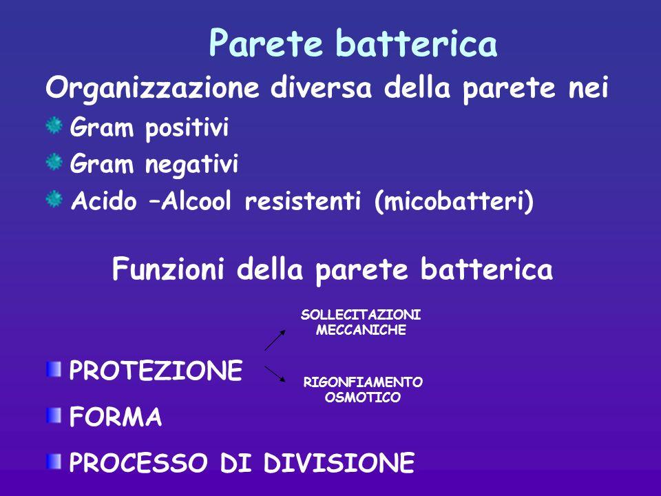 Parete batterica Organizzazione diversa della parete nei Gram positivi Gram negativi Acido –Alcool resistenti (micobatteri) Funzioni della parete batterica PROTEZIONE FORMA PROCESSO DI DIVISIONE SOLLECITAZIONI MECCANICHE RIGONFIAMENTO OSMOTICO