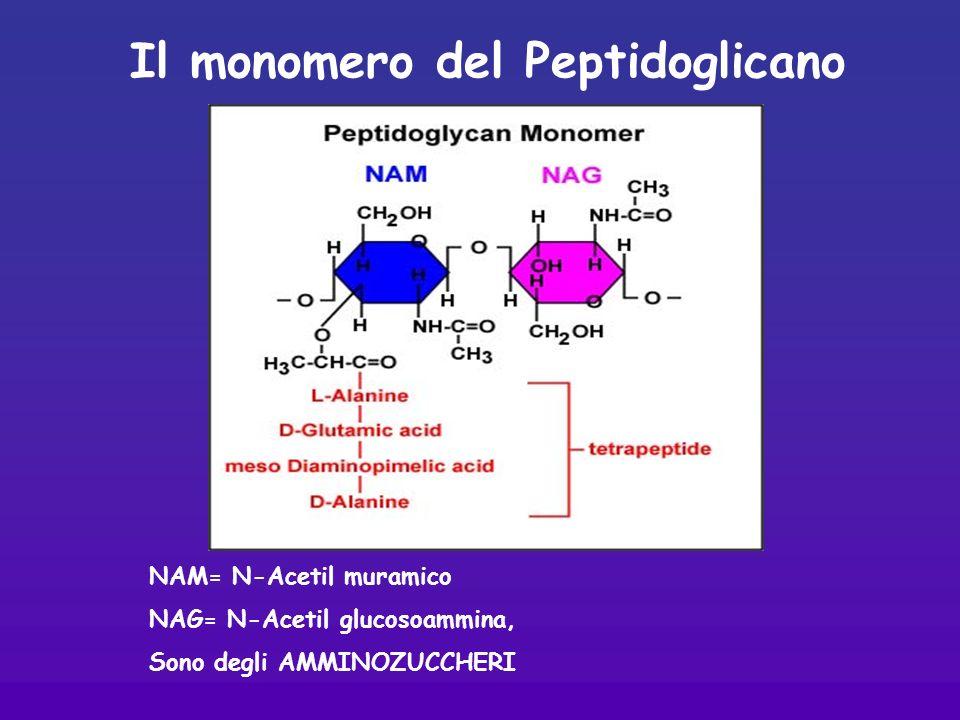 Il monomero del Peptidoglicano NAM= N-Acetil muramico NAG= N-Acetil glucosoammina, Sono degli AMMINOZUCCHERI