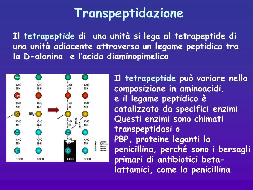 Transpeptidazione Il tetrapeptide di una unità si lega al tetrapeptide di una unità adiacente attraverso un legame peptidico tra la D-alanina e lacido diaminopimelico Il tetrapeptide può variare nella composizione in aminoacidi.