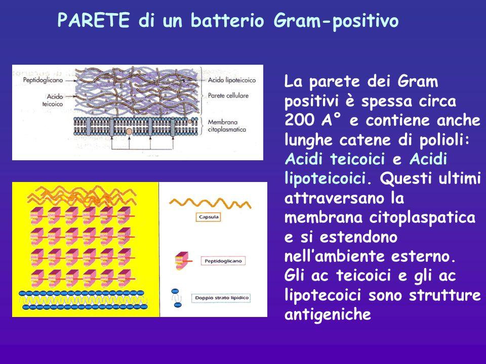 PARETE di un batterio Gram-positivo La parete dei Gram positivi è spessa circa 200 A° e contiene anche lunghe catene di polioli: Acidi teicoici e Acidi lipoteicoici.
