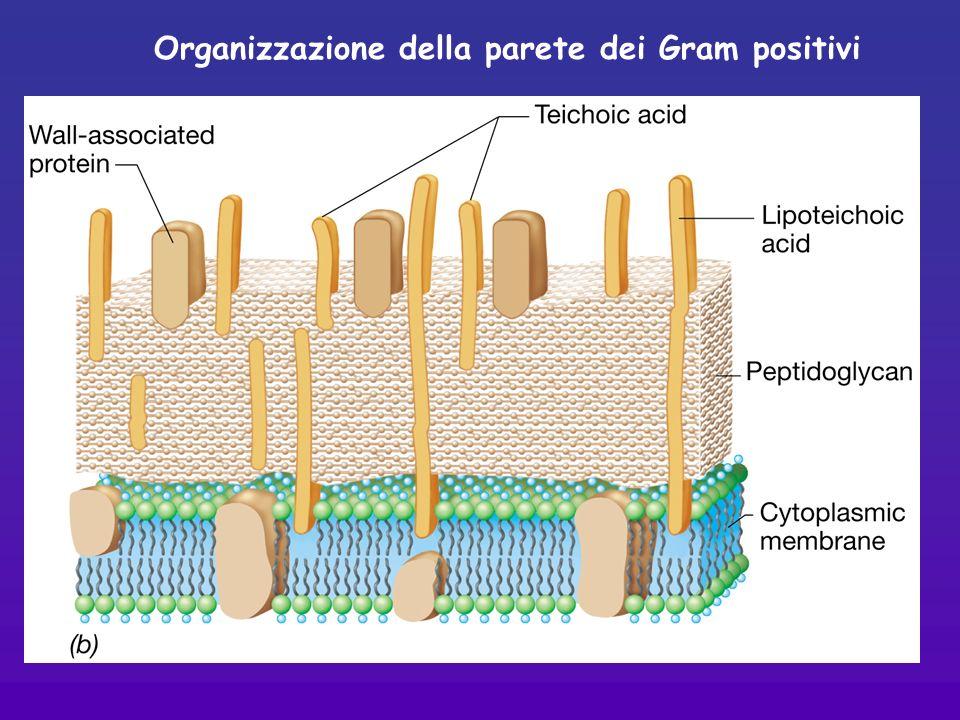 Organizzazione della parete dei Gram positivi