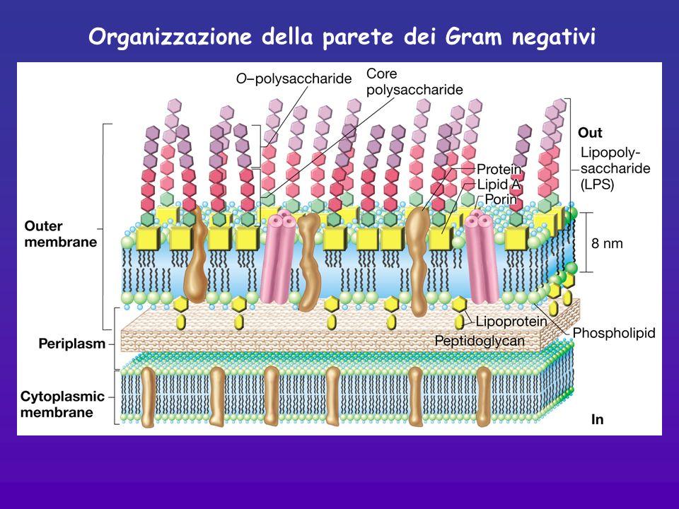 Organizzazione della parete dei Gram negativi