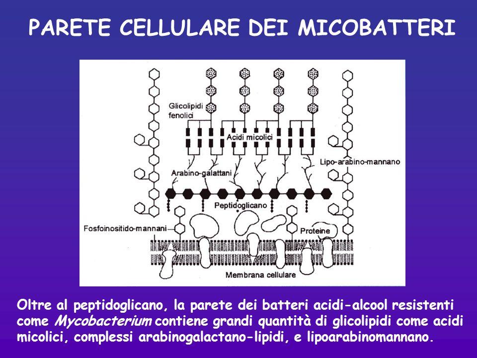 PARETE CELLULARE DEI MICOBATTERI Oltre al peptidoglicano, la parete dei batteri acidi-alcool resistenti come Mycobacterium contiene grandi quantità di glicolipidi come acidi micolici, complessi arabinogalactano-lipidi, e lipoarabinomannano.