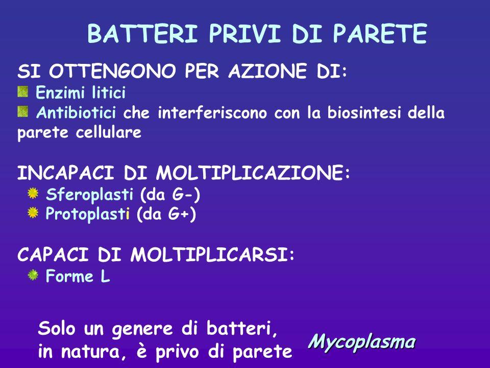 BATTERI PRIVI DI PARETE SI OTTENGONO PER AZIONE DI: Enzimi litici Antibiotici che interferiscono con la biosintesi della parete cellulare INCAPACI DI MOLTIPLICAZIONE: Sferoplasti (da G-) Protoplasti (da G+) CAPACI DI MOLTIPLICARSI: Forme L Solo un genere di batteri, in natura, è privo di pareteMycoplasma