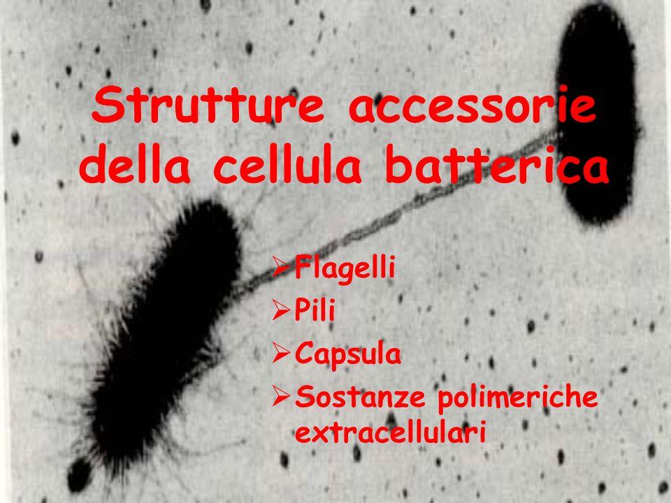 Strutture accessorie della cellula batterica Flagelli Pili Capsula Sostanze polimeriche extracellulari