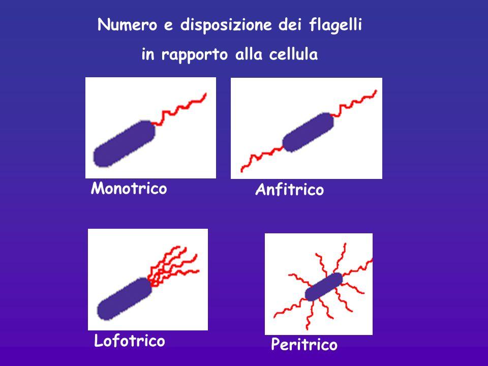Anfitrico Monotrico Lofotrico Peritrico Numero e disposizione dei flagelli in rapporto alla cellula