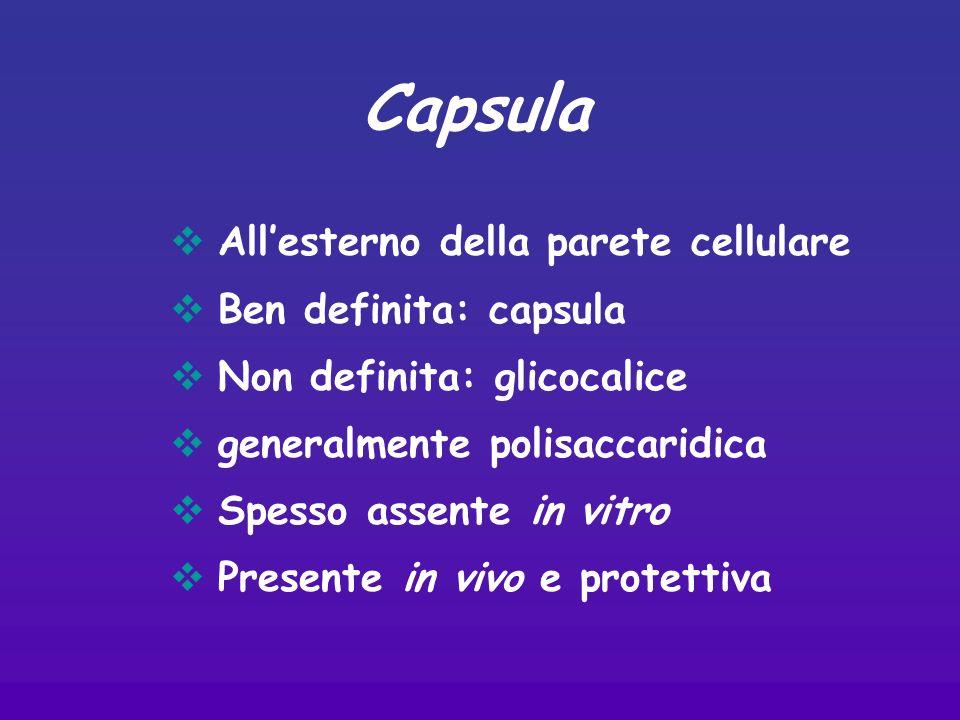 Allesterno della parete cellulare Ben definita: capsula Non definita: glicocalice generalmente polisaccaridica Spesso assente in vitro Presente in vivo e protettiva