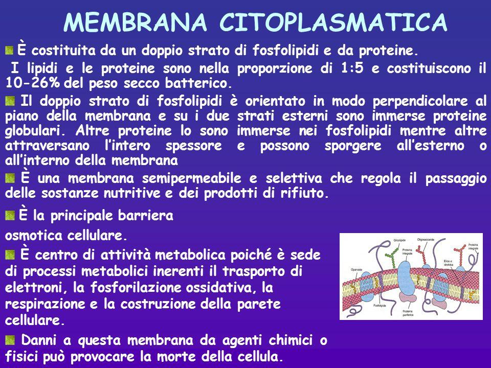 MEMBRANA CITOPLASMATICA È costituita da un doppio strato di fosfolipidi e da proteine.
