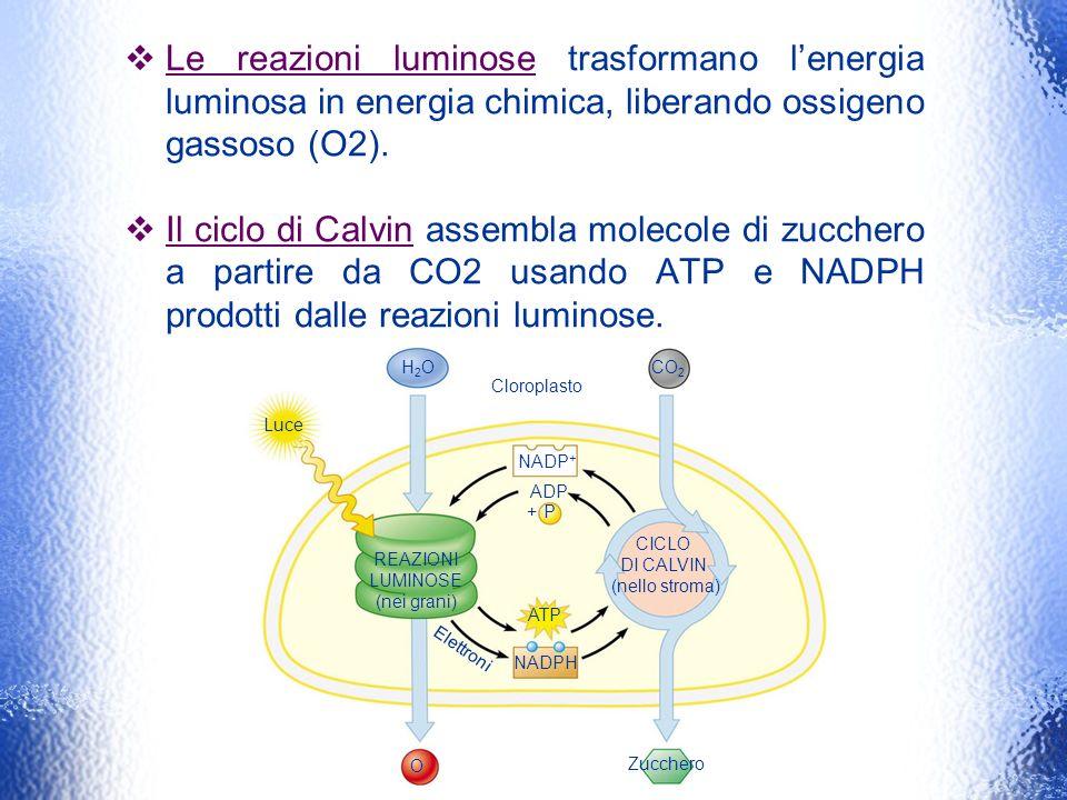 Le reazioni luminose trasformano lenergia luminosa in energia chimica, liberando ossigeno gassoso (O2). Il ciclo di Calvin assembla molecole di zucche