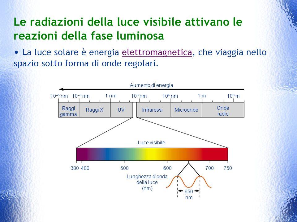 Le radiazioni della luce visibile attivano le reazioni della fase luminosa La luce solare è energia elettromagnetica, che viaggia nello spazio sotto f