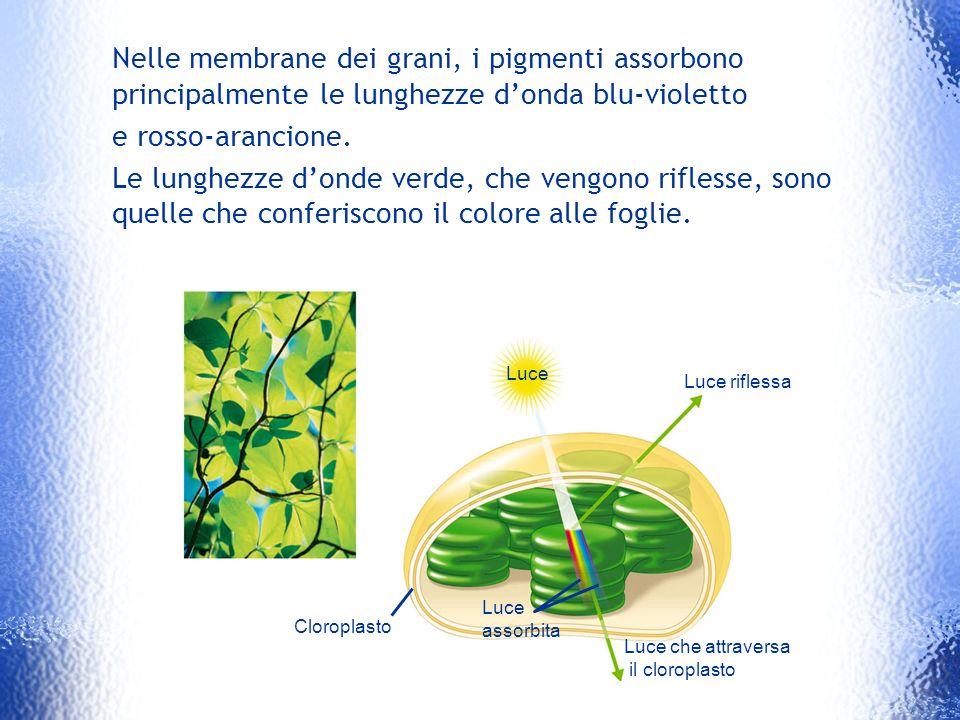Luce che attraversa il cloroplasto Luce assorbita Luce riflessa Luce Cloroplasto Nelle membrane dei grani, i pigmenti assorbono principalmente le lung